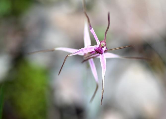 Rosella Orchid 2