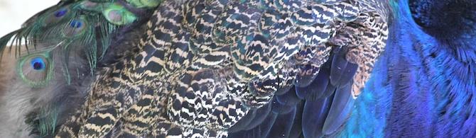 Montsalvat_Peacock_s6