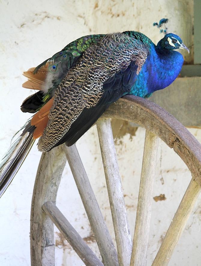 Montsalvat_Peacocks_10