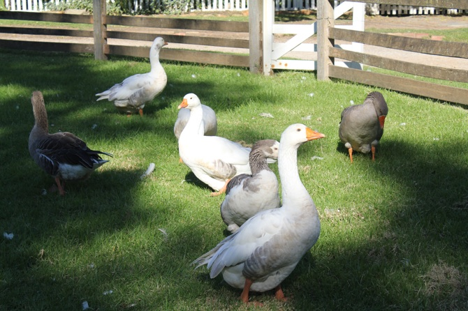 Geese_s
