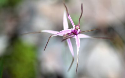 The Caladenia Rosella Orchid